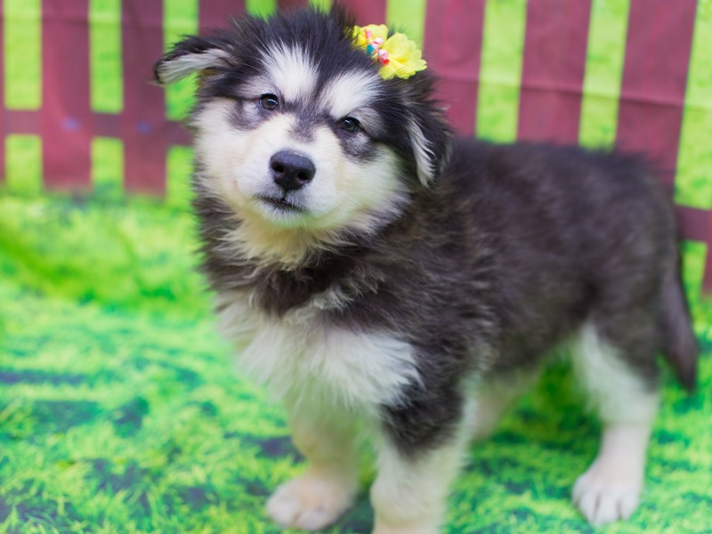 Alaskan Malamute-Female-Black and White-2095409-Petland Wichita, KS