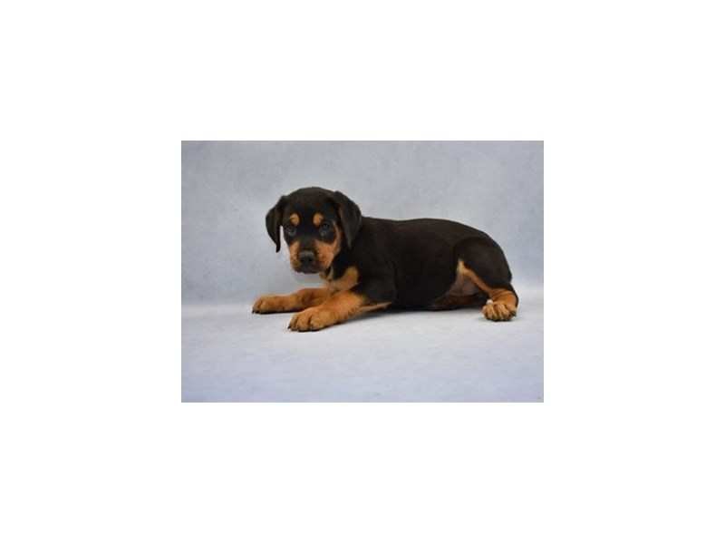 Rottweiler-Female-Black and Mahogany-2110557-Petland Wichita, KS