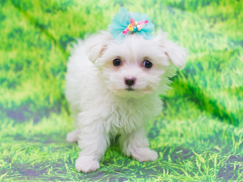 Maltese-DOG-Female-White-2111023-Petland Wichita, KS