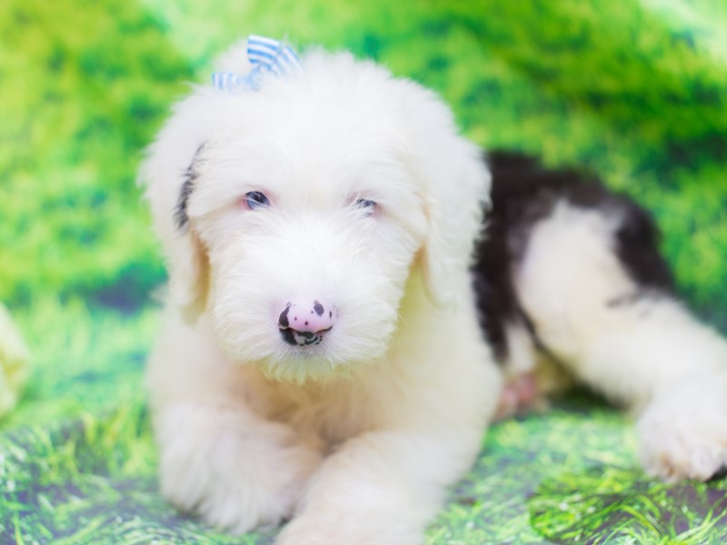Old English Sheepdog-Female-Black and White-2110759-Petland Wichita, KS