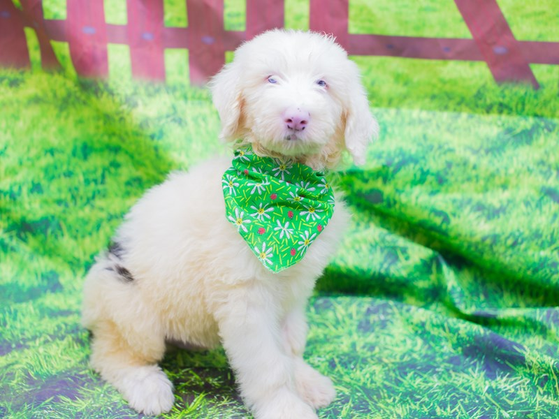 Old English Sheepdog-Male-Black and White-2110752-Petland Wichita, KS