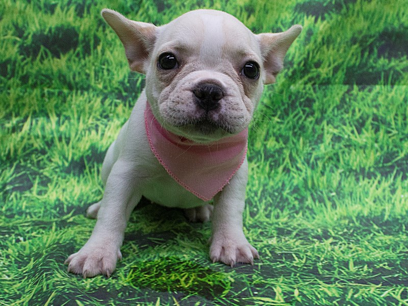 French Bulldog-DOG-Female-White and Cream-2121052-Petland Wichita, KS