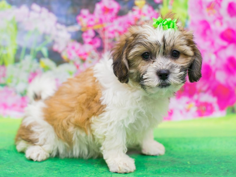 Teddy Bear-Female-Gold and White-2136284-Petland Wichita, KS