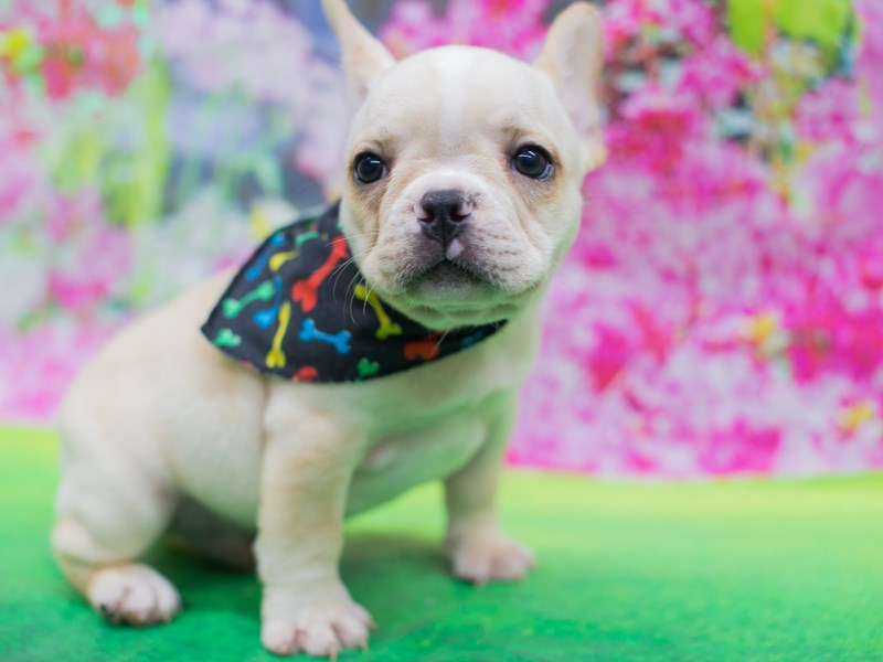 French Bulldog-DOG-Male-Cream and White-2136195-Petland Wichita, KS
