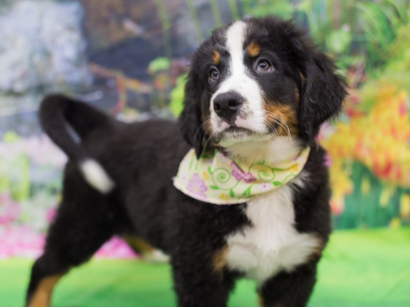 Bernese Mountain Dog-DOG-Female-Black Rust and White-2130801-Petland Wichita, KS