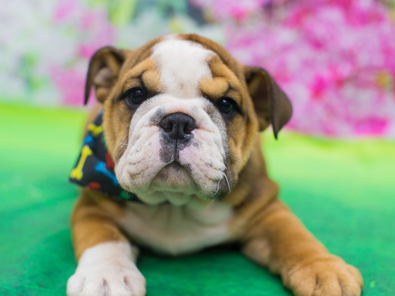 English Bulldog-DOG-Male-Fawn and White-2141556-Petland Wichita, KS
