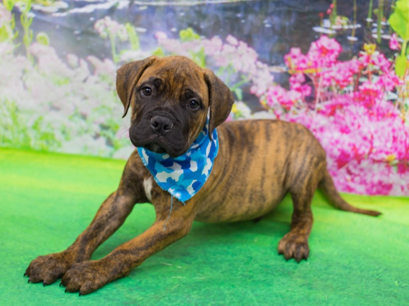 Bull Mastiff-Male-Brindle-2146851-Petland Wichita, KS
