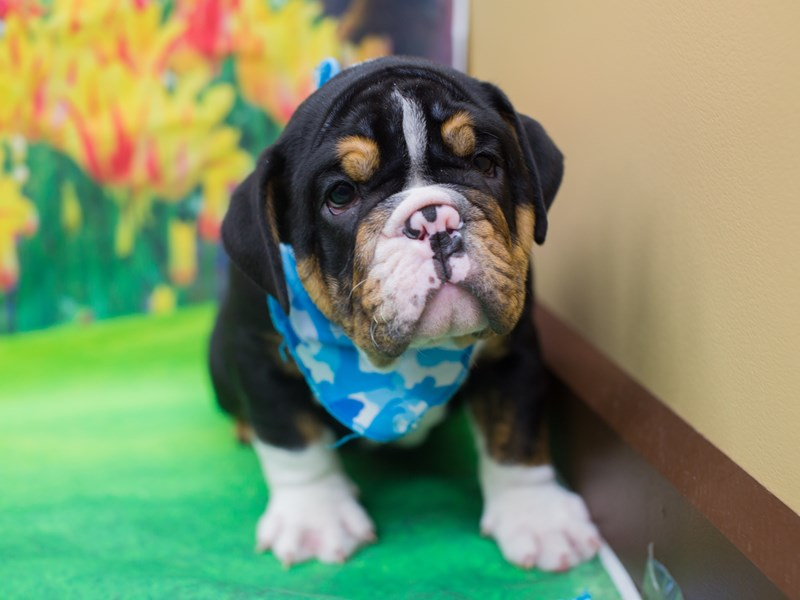 English Bulldog-DOG-Male-Black and Tan-2146809-Petland Wichita, KS