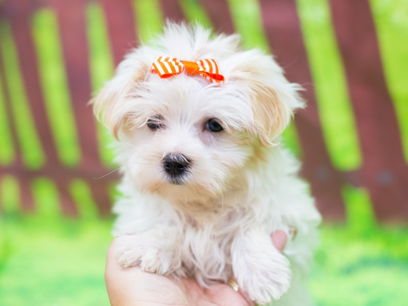 Morkie-DOG-Female-White and Gold-2151816-Petland Wichita, KS