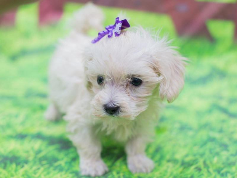 Toy MaltiPoo-Female-White-2157132-Petland Wichita, KS