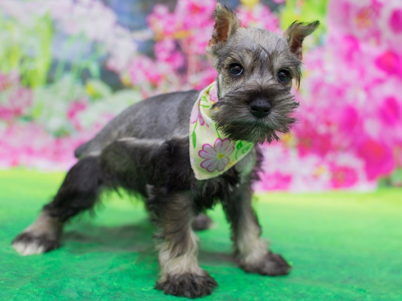 Miniature Schnauzer-DOG-Female-Salt and Pepper-2136024-Petland Wichita, KS
