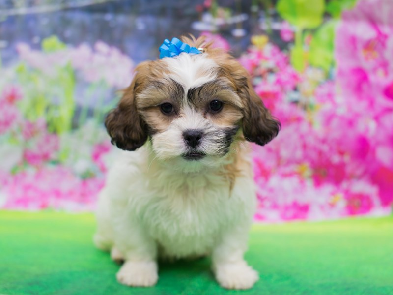 Teddy Bear-Female-Gold and White-2136280-Petland Wichita, KS