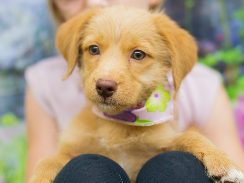 BeagleDoodle-Female-Blonde-2136297-Petland Wichita, KS