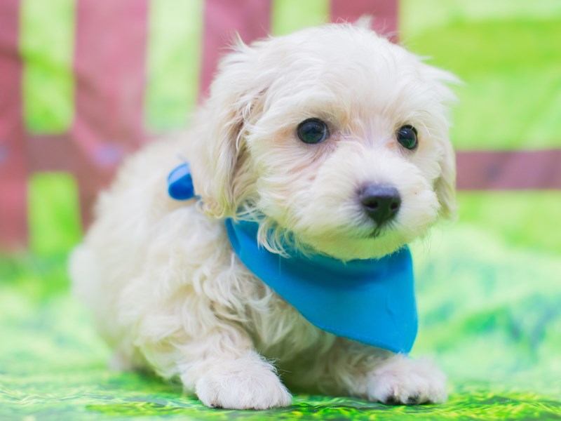 Toy MaltiPoo-Male-White-2157130-Petland Wichita, KS