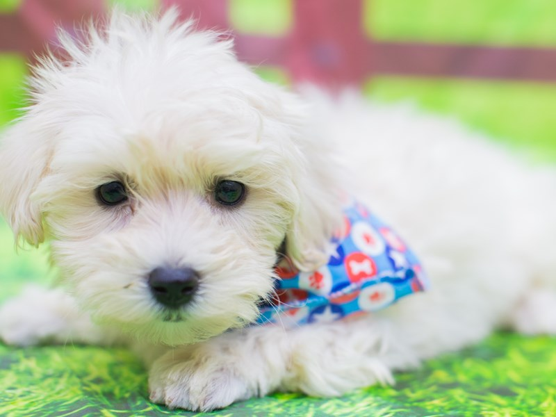 Toy MaltiPoo-Male-White-2157126-Petland Wichita, KS