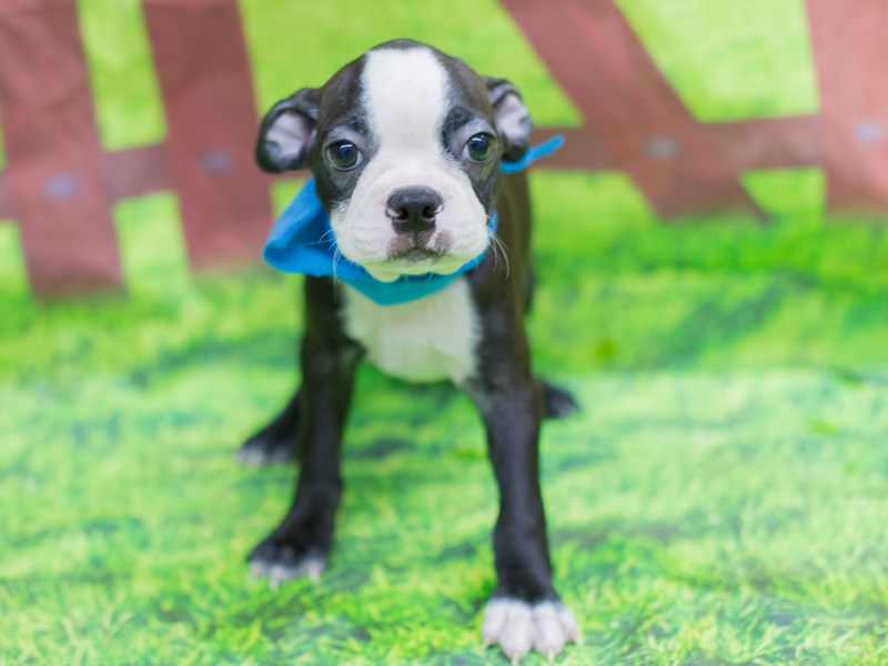 Boston Terrier-DOG-Male-Black and White-2167620-Petland Wichita, KS