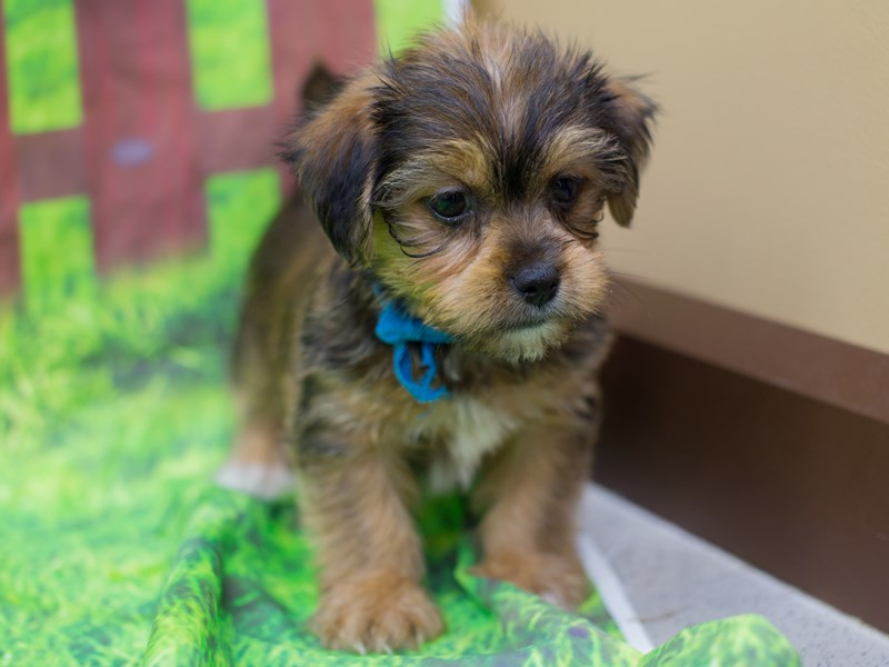 Shorkie-Male-Sable-2167313-Petland Wichita, KS