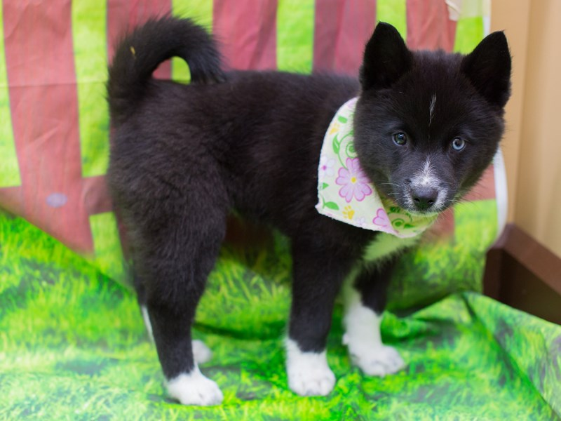 Pomsky-Female-Black and White-2172575-Petland Wichita, KS
