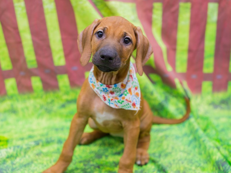 Rhodesian Ridgeback-Female-Red Wheaten-2172563-Petland Wichita, KS