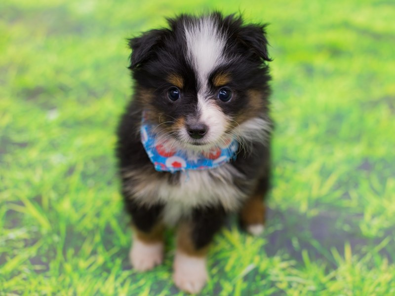 Miniature Australian Shepherd-DOG-Male-Black Tri-2172278