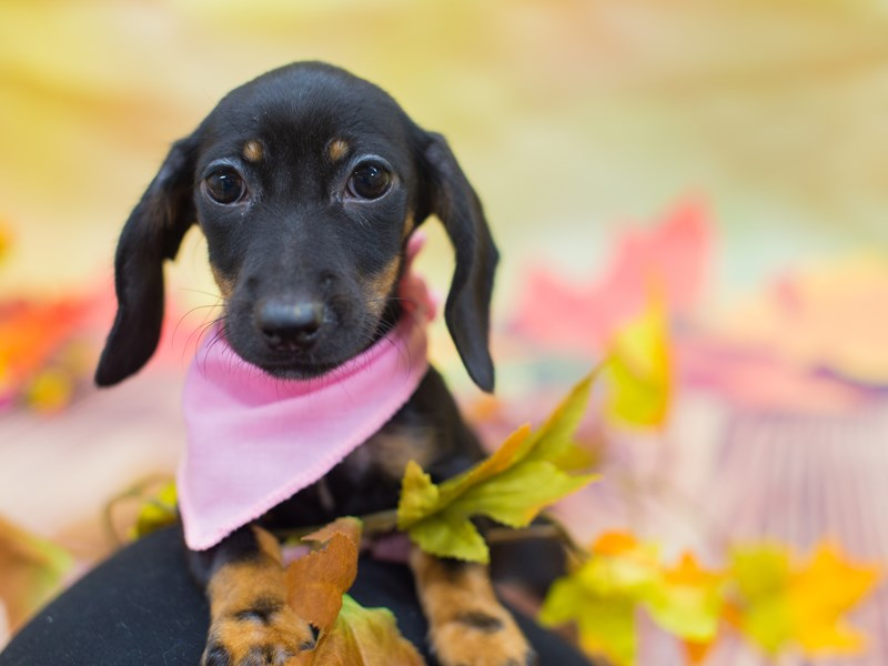 Dachshund-Female-Black and Tan-2166656-Petland Wichita, KS