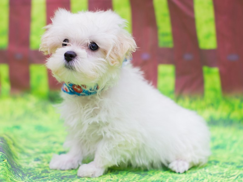 Toy MaltiPoo-Male-White-2151815-Petland Wichita, KS