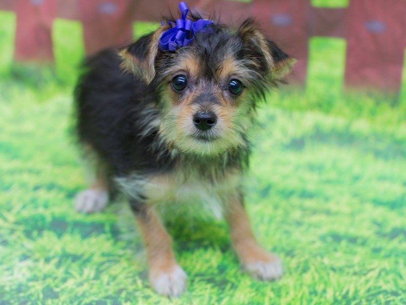 Morkie-DOG-Female-Black and Tan-2167350-Petland Wichita, KS