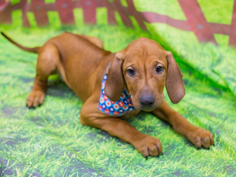 Rhodesian Ridgeback-Male-Red Wheaten-2172566-Petland Wichita, KS