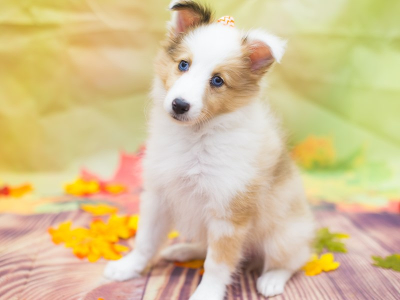 Shetland Sheepdog-Female-Red Merle blue eyes!!!!-2177406-Petland Wichita, KS