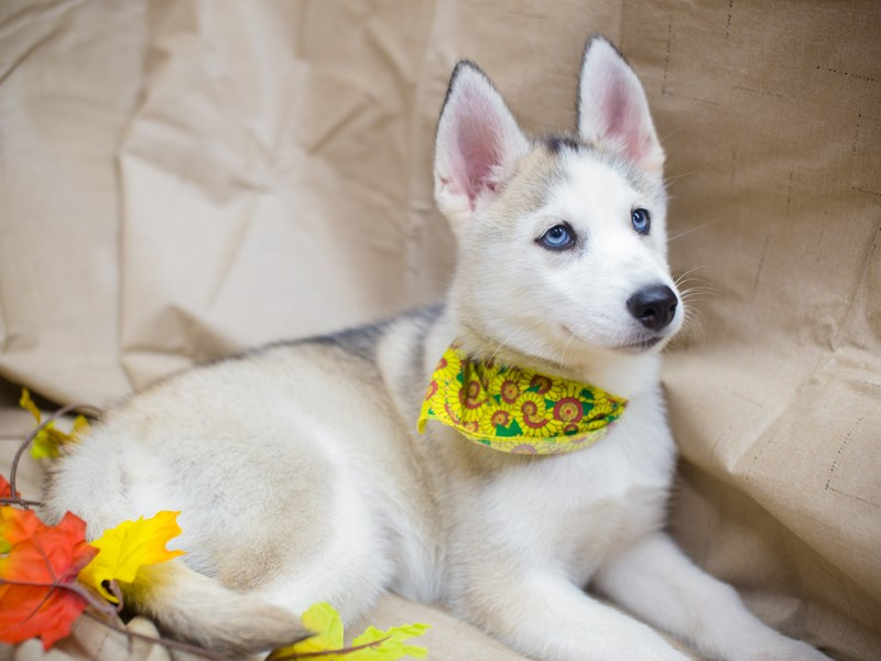 Siberian Husky-DOG-Female-Grey and White-2195972-Petland Wichita, KS