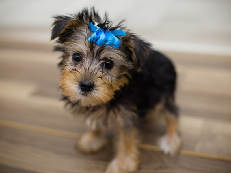 Morkie-DOG-Female-Black and Tan-2205193-Petland Wichita, KS