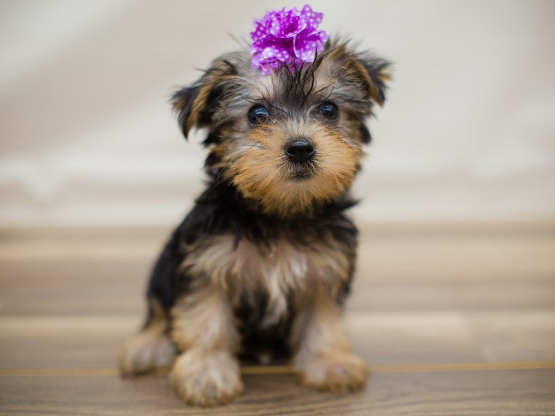 Morkie-DOG-Female-Black and Tan-2205192-Petland Wichita, KS