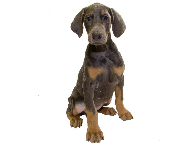 Doberman Pinscher-Female--1294013-Petland Wichita, KS