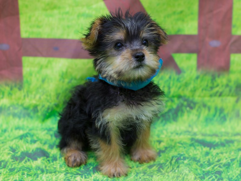 Morkie-DOG-Male-Black and Tan-2167346-Petland Wichita, KS