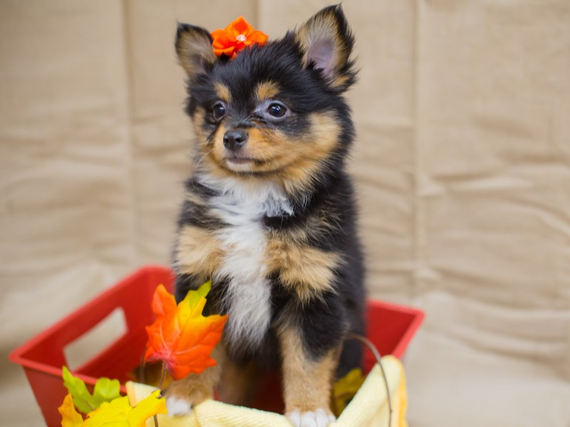 Chipom-DOG-Female-Black nad Tan-2195990-Petland Wichita, KS