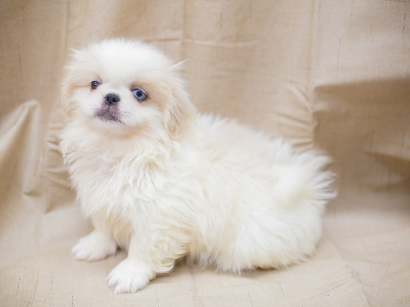 Pekingese-DOG-Female-White and Cream-2195967-Petland Wichita, KS