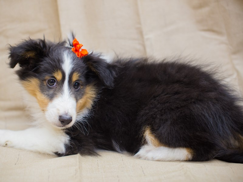 Shetland Sheepdog-Female-Black and White-2195880-Petland Wichita, KS