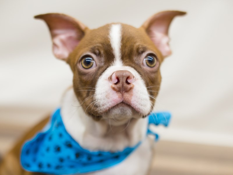 Boston Terrier-DOG-Male-Red with Fawn Brindling and White-2205449-Petland Wichita, KS
