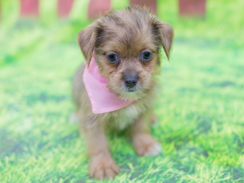 Shorkie-Female-Blue Fawn-2167311-Petland Wichita, KS