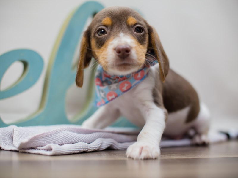 Beagle-DOG-Male-Chocolate Tan and White-2214464-Petland Wichita, KS