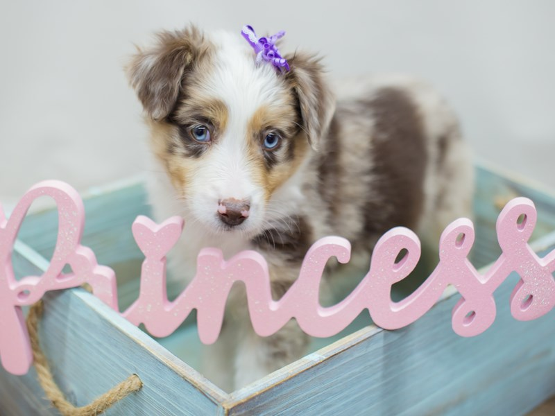 Miniature Australian Shepherd-DOG-Female-Red Merle-2214383-Petland Wichita, KS