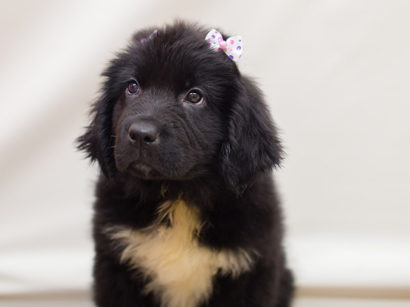 Newfoundland-Female-Black and White-2218795-Petland Wichita, KS