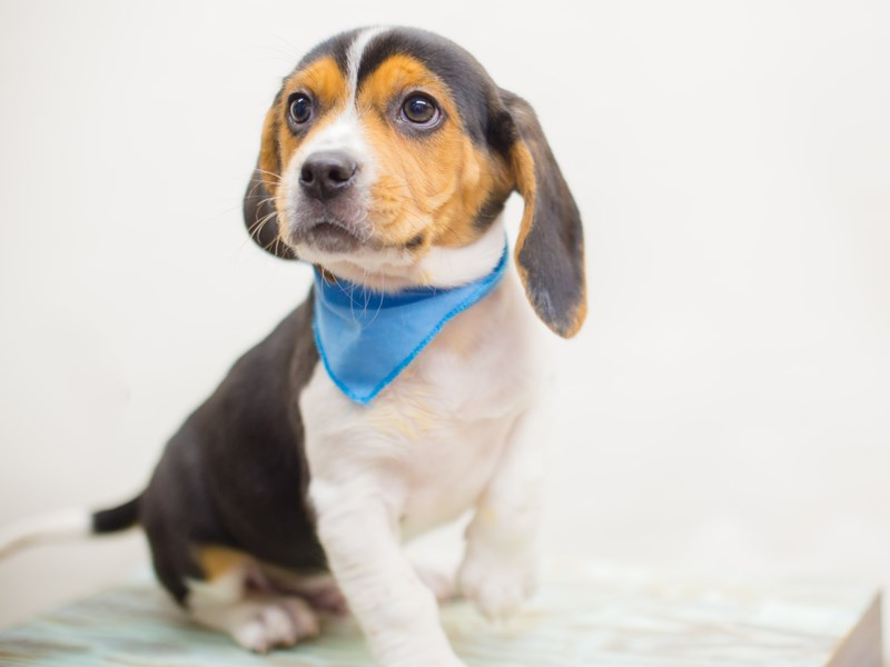 Beagle-DOG-Male-Black Tri-Color-2218786-Petland Wichita, KS