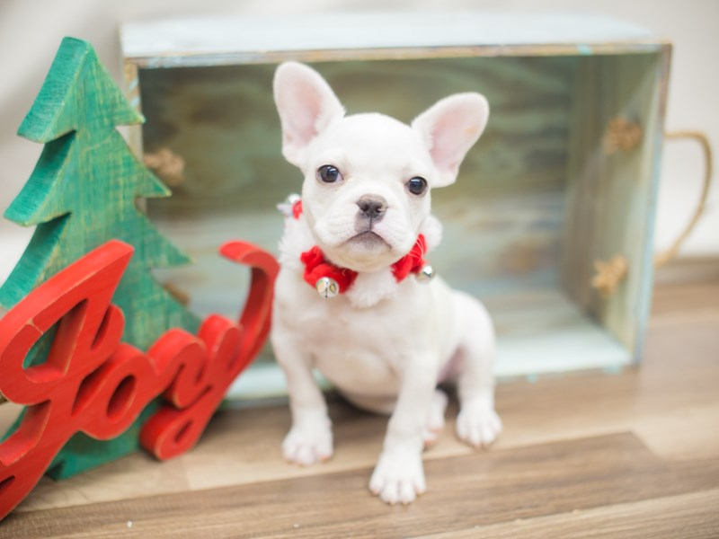 French Bulldog-DOG-Female-White-2218830-Petland Wichita, KS