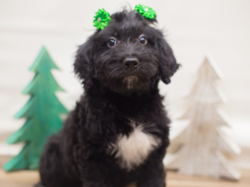 Labradoodle-Female-Black and White-2223662-Petland Wichita, KS