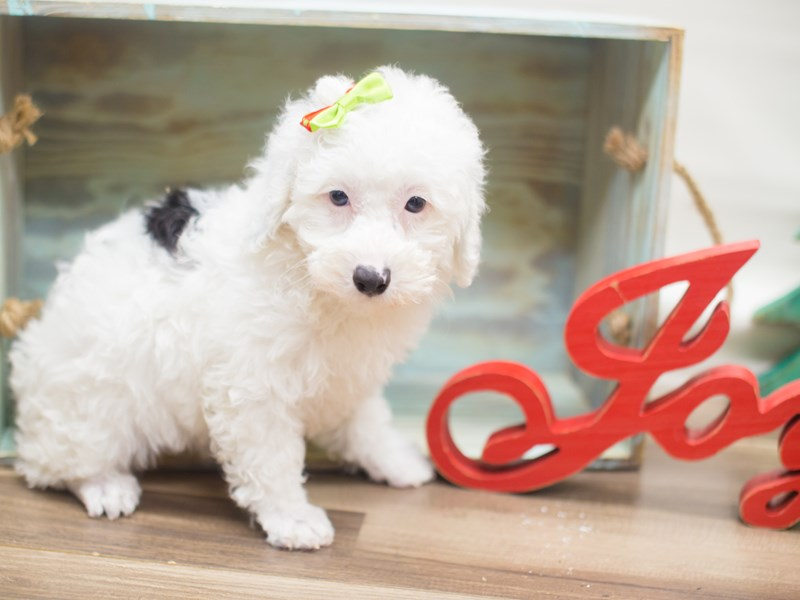 Miniature Poodle-DOG-Female-White and Black-2223923-Petland Wichita, KS