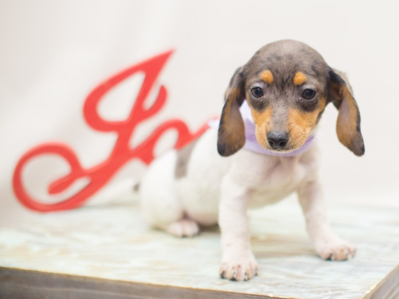 Miniature Dachshund-DOG-Female-Blue Dapple Piebald-2223937-Petland