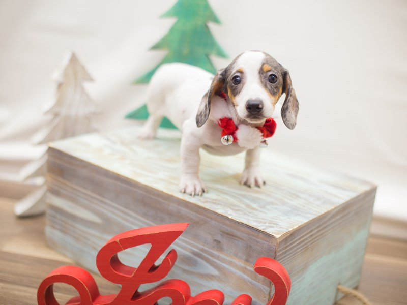 Miniature Dachshund-DOG-Male-Chocolate Dapple Piebald-2223933-Petland Wichita, KS