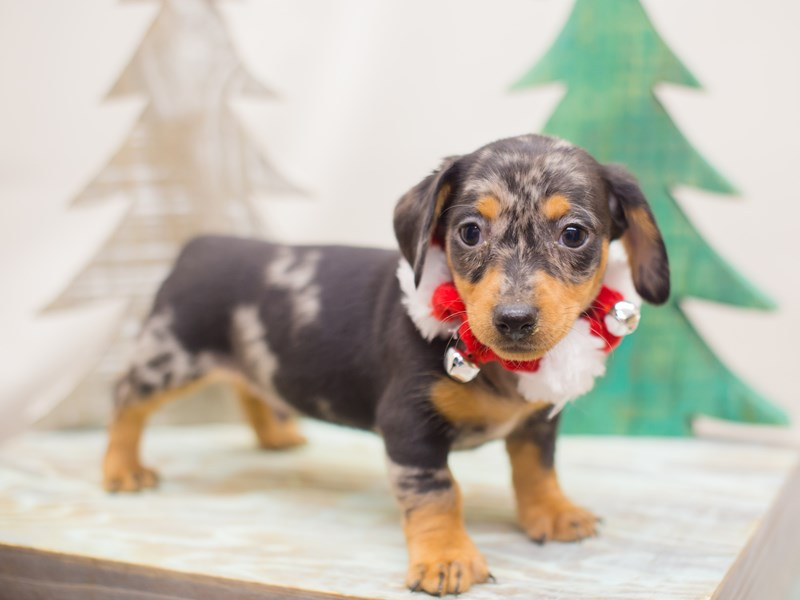 Miniature Dachshund-DOG-Male-Silver Dapple-2223946-Petland Wichita, KS