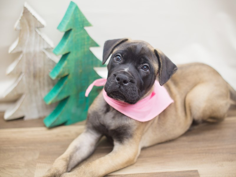 Bull Mastiff-Female-Fawn with Black Mask-2229278-Petland Wichita, KS
